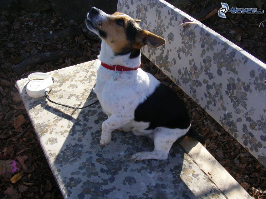 Jack Russell terrier, banco, cuerda
