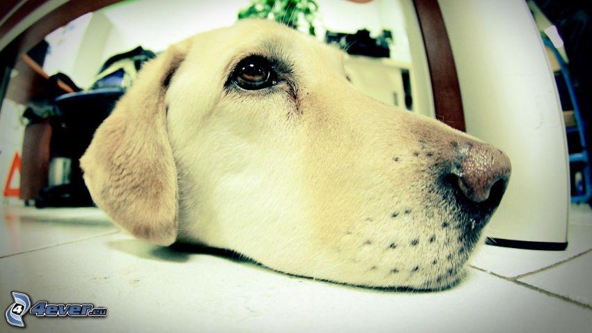 Labrador, hocico, perro en el suelo