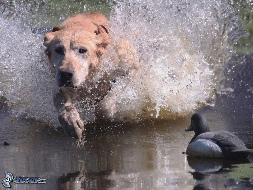 Labrador, pato, perro en el agua