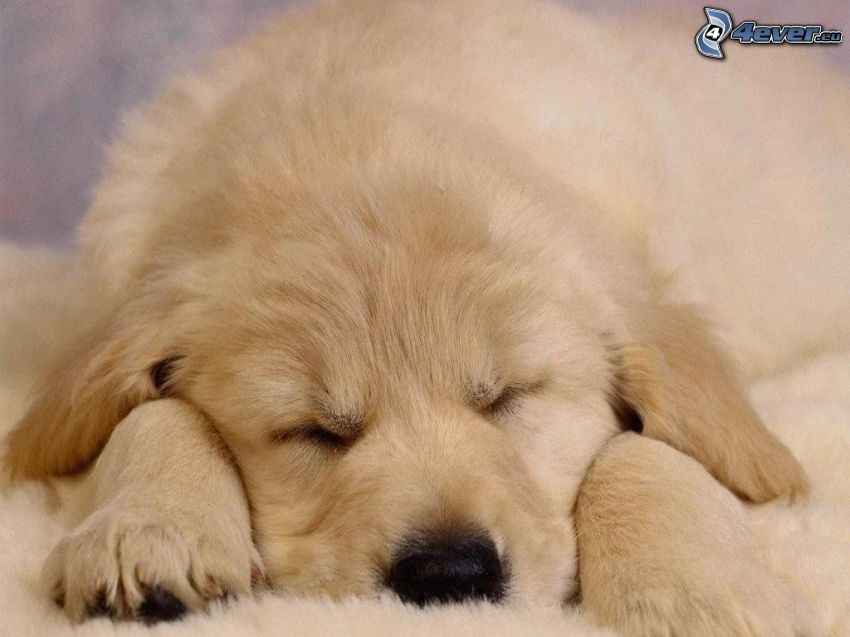 Labrador cachorro, cachorro durmiendo, manta, descanso