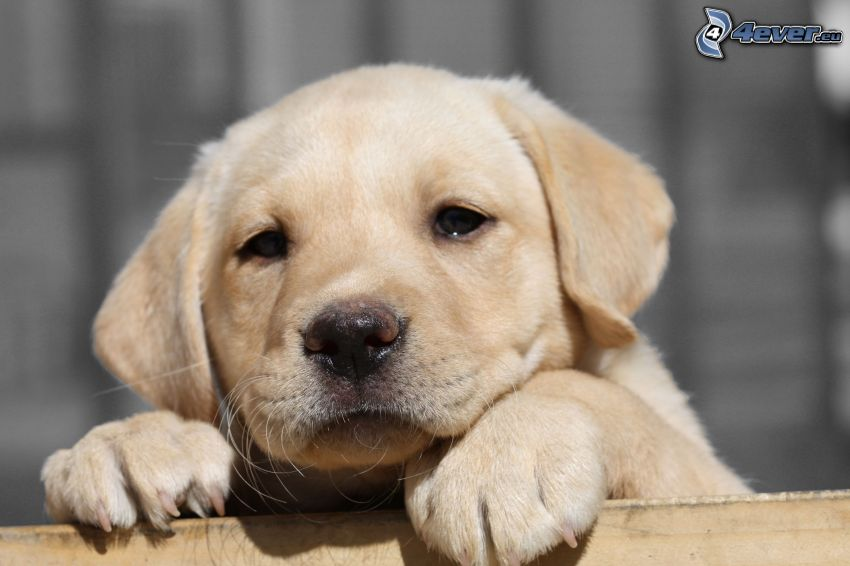 labrador retriever, cachorro