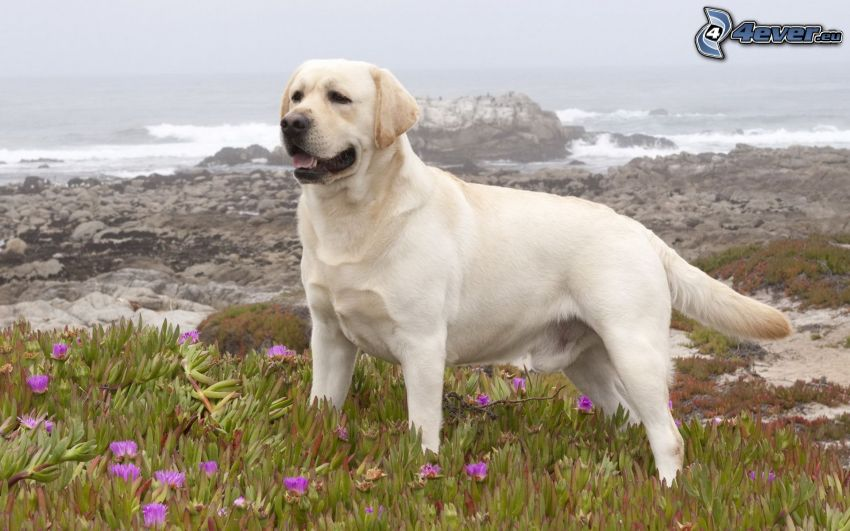 labrador retriever, mar, playa rocosa
