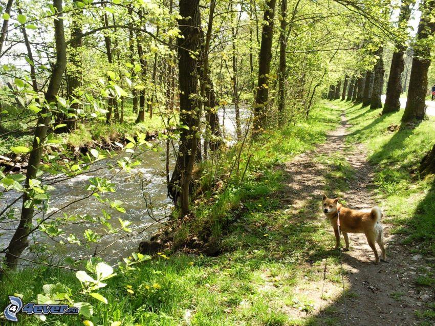 pasarela por la corriente, perro, líneas de árboles