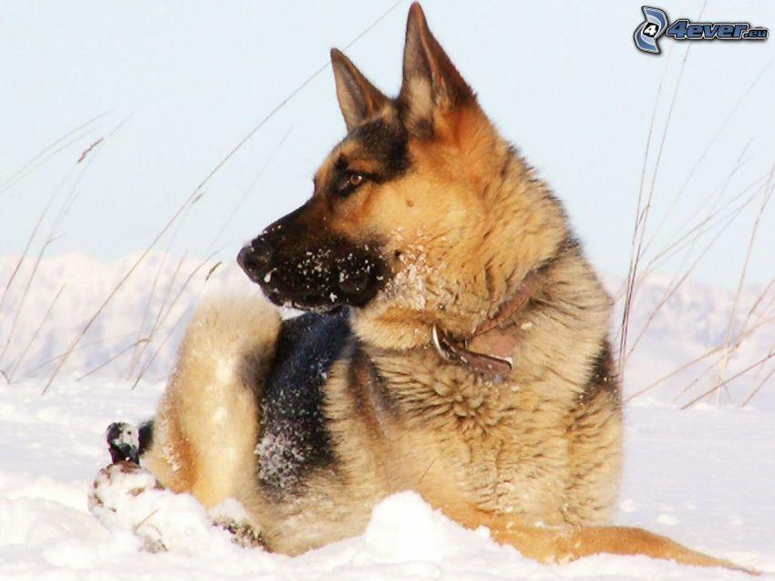 pastor alemán, nieve