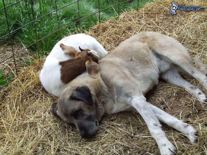 Pastor de anatolia, cabra, dormir