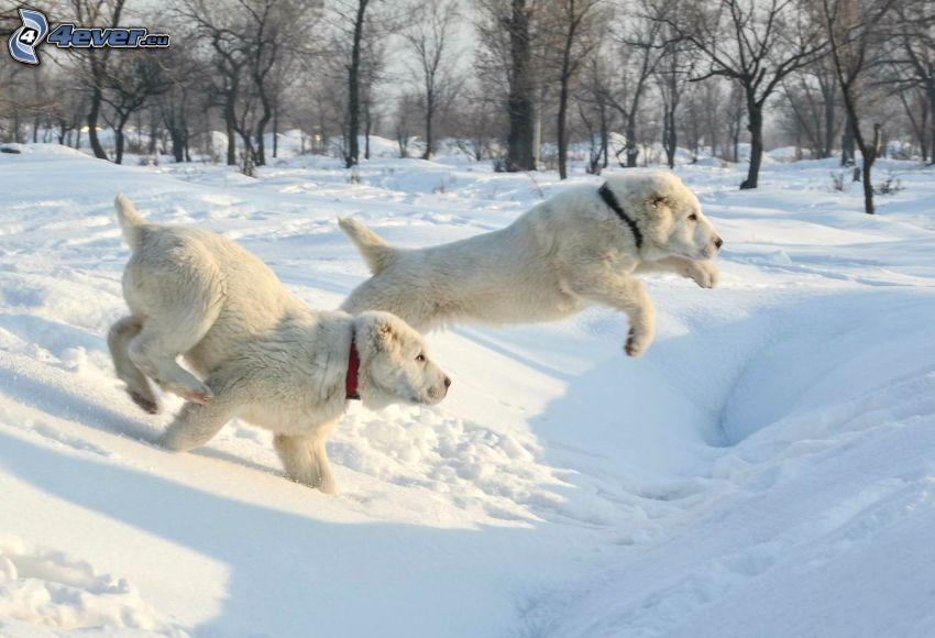 Pastor de anatolia, cachorros, salto, parque cubierto de nieve