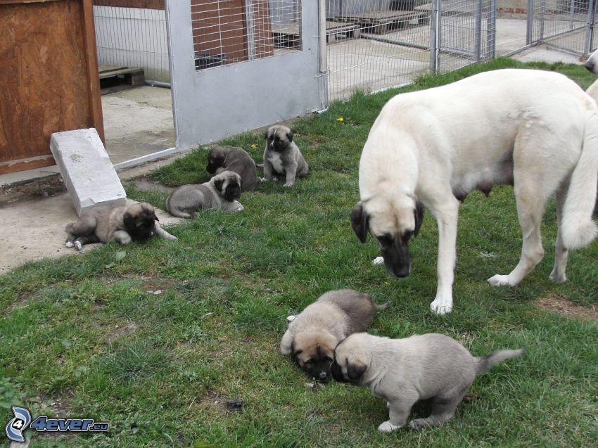 Pastor de anatolia, cachorros, valla