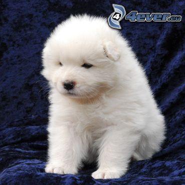 pequeño perrito blanco