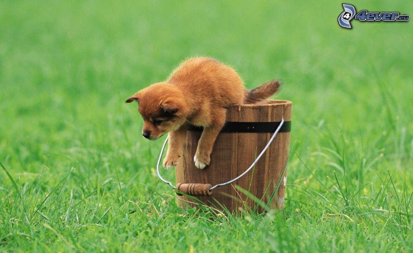 perrito marrón, cubo, hierba verde