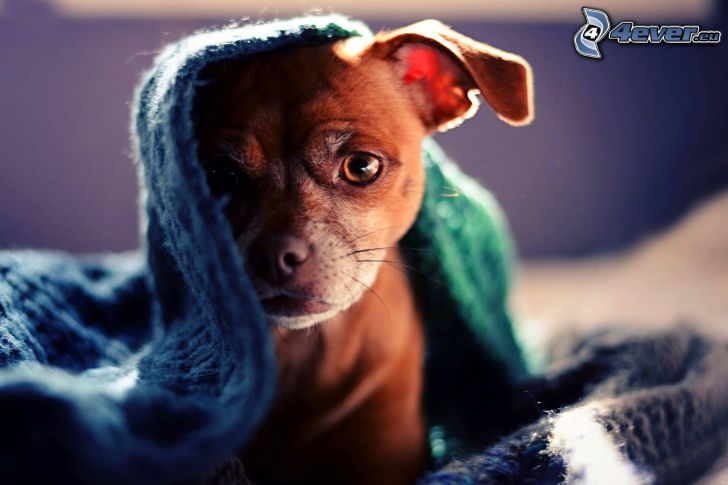 perrito marrón, manta