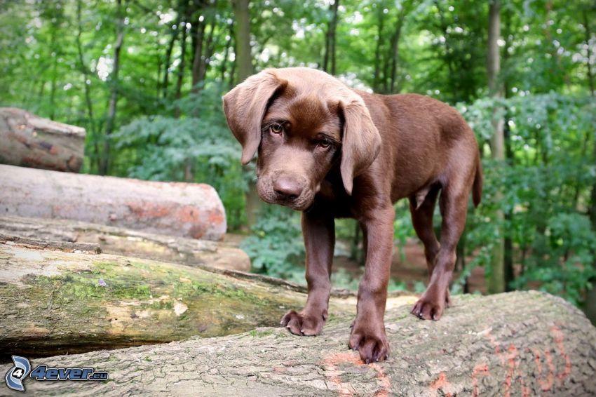 perrito marrón