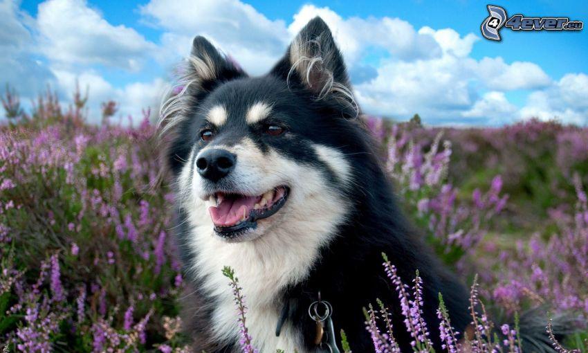 perro, campo de lavanda