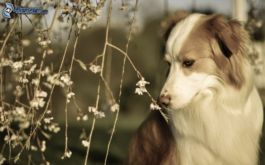 perro, flores, sepia