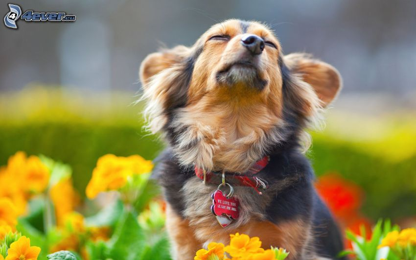 perro, flores amarillas