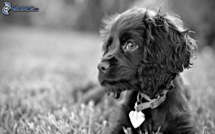 perro, Foto en blanco y negro