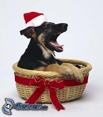 perro, gorra de San Nikolás, cesta