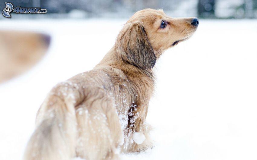 perro, mirada, nieve