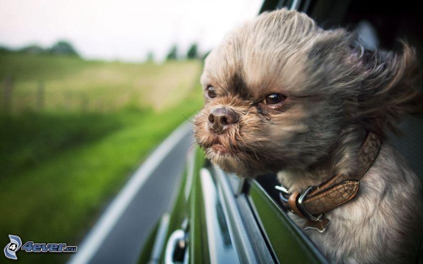 perro, oídos palpitando