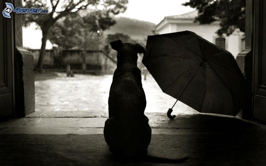 perro, paraguas