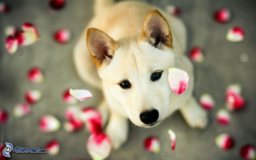 perro, pétalos de rosa, mirada