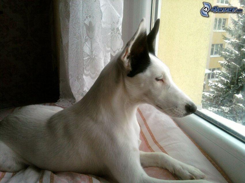 perro, ventana, almohada, cortina