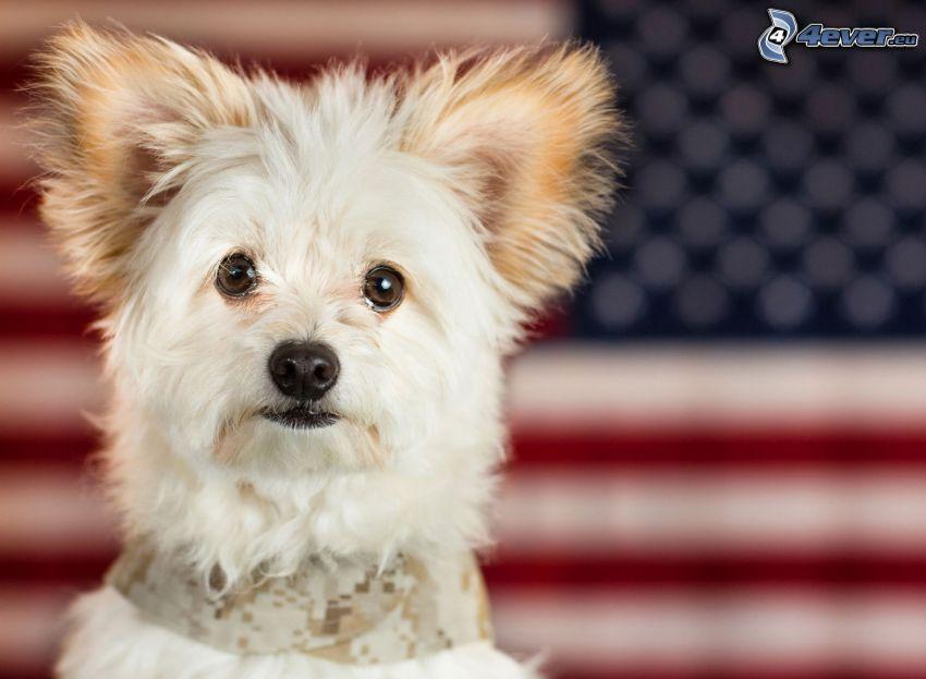 perro blanco, bandera americana