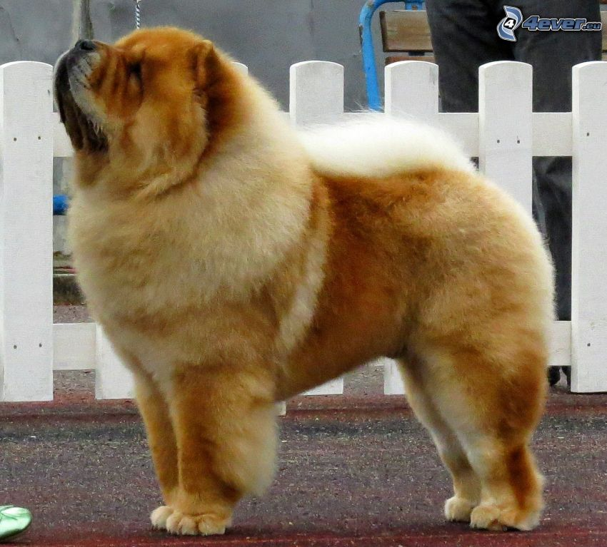 perro chow-chow, barrandilla