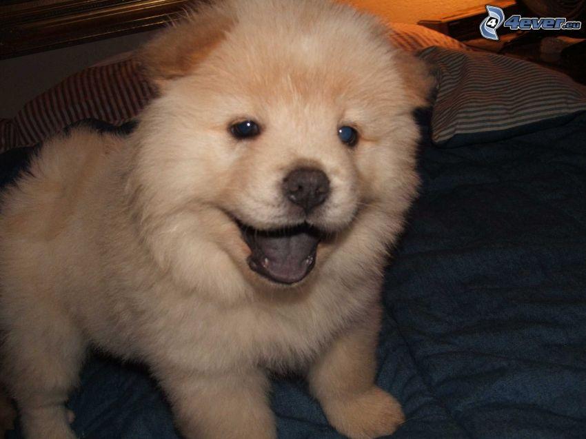 perro chow-chow, cama