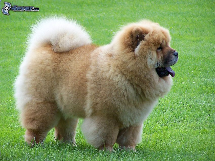 perro chow-chow, césped