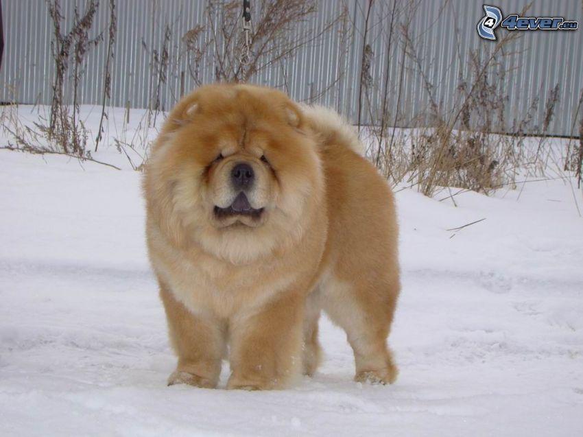 perro chow-chow, nieve