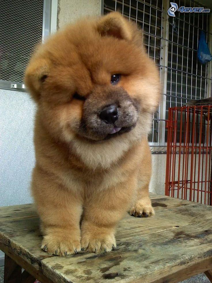 perro chow-chow, ventana
