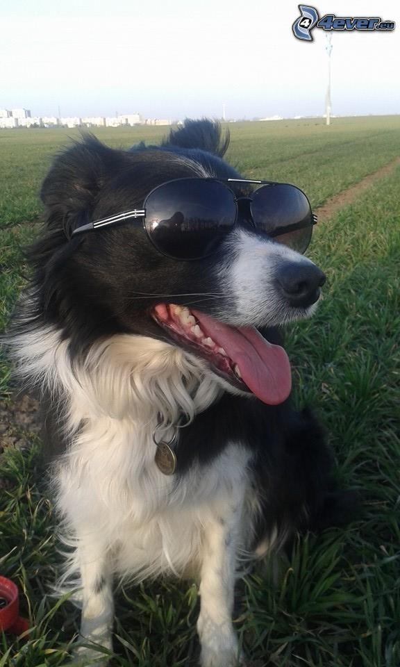 perro con gafas, Border collie, gafas de sol