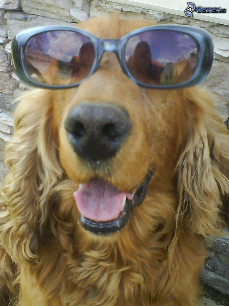perro con gafas, gafas de sol, cocker spaniel