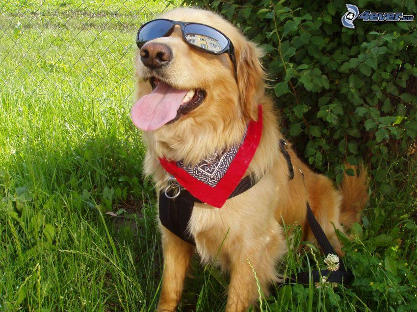 perro con gafas, Labrador, bufanda, naturaleza