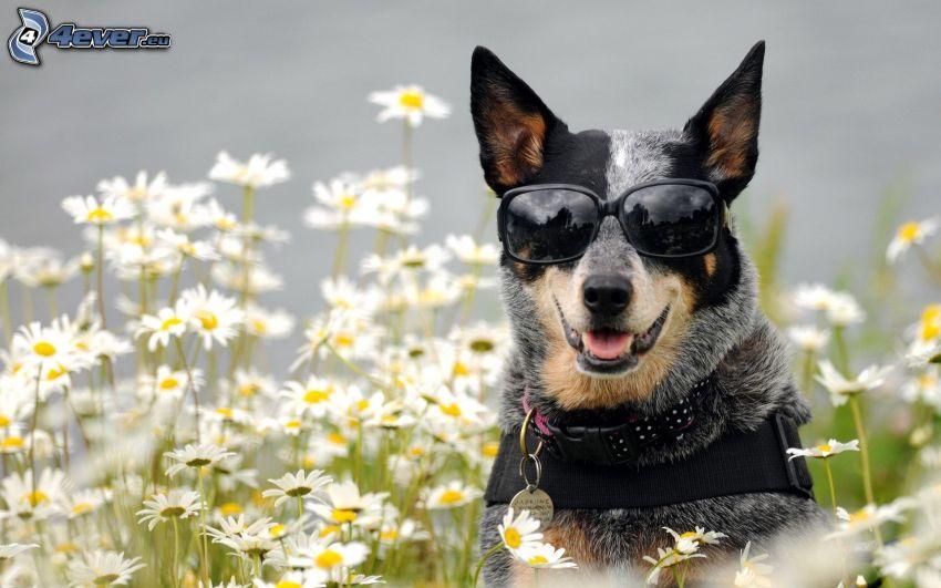 perro con gafas, Pastor ganadero australiano, margaritas