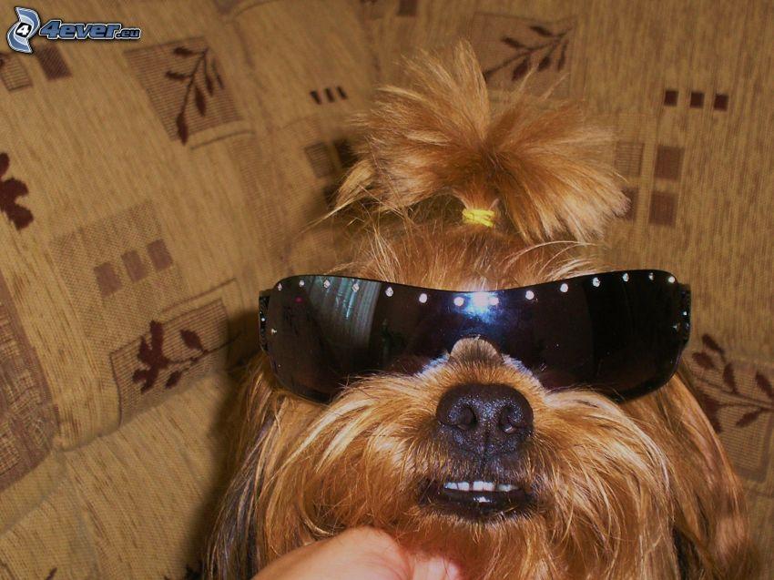 perro con gafas, Yorkshire Terrier, gafas de sol, cola de caballo