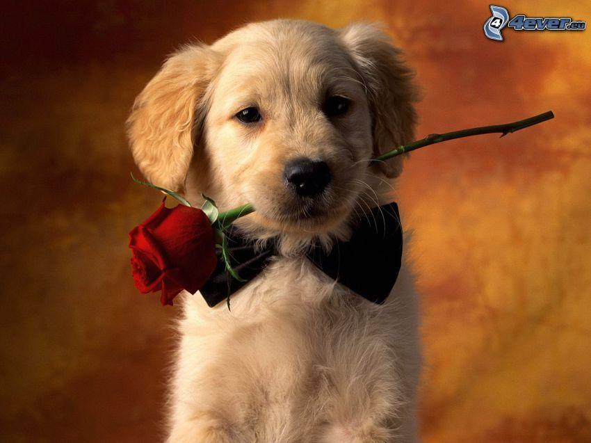 Perro con una rosa, cachorro, golden retriever, rosa