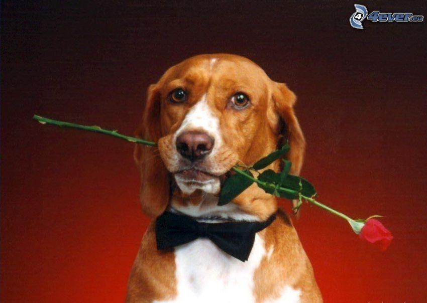 Perro con una rosa, corbata de lazo, beagle