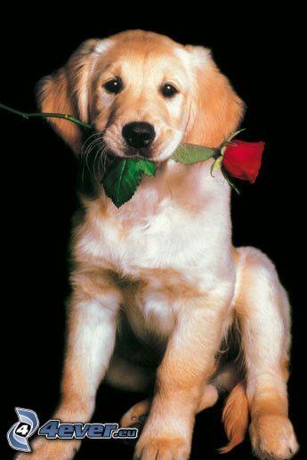 Perro con una rosa, golden retriever, cachorro