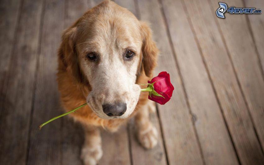 Perro con una rosa