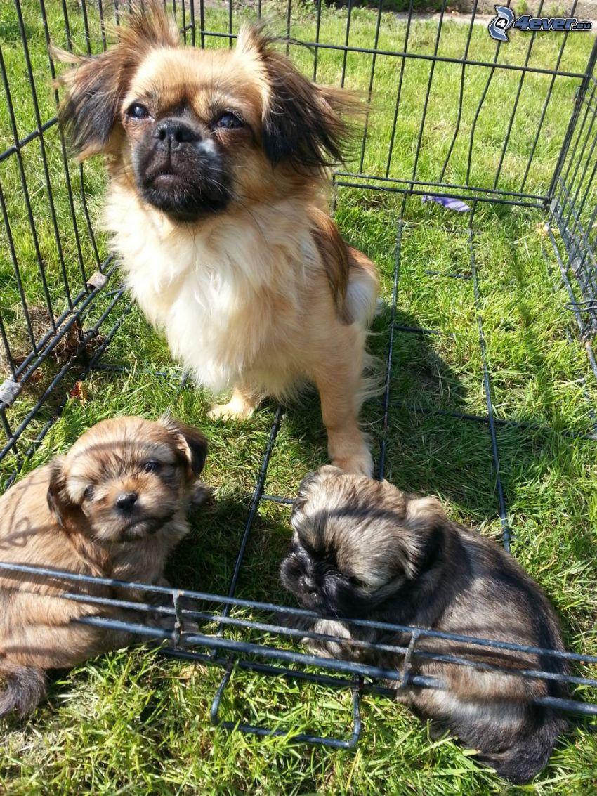 perro de aguas tibetano, cachorros