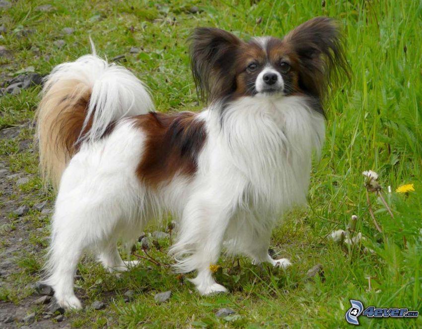 perro de aguas tibetano, hierba