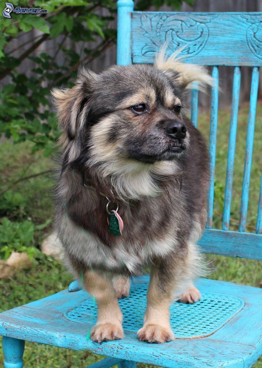 perro de aguas tibetano, silla