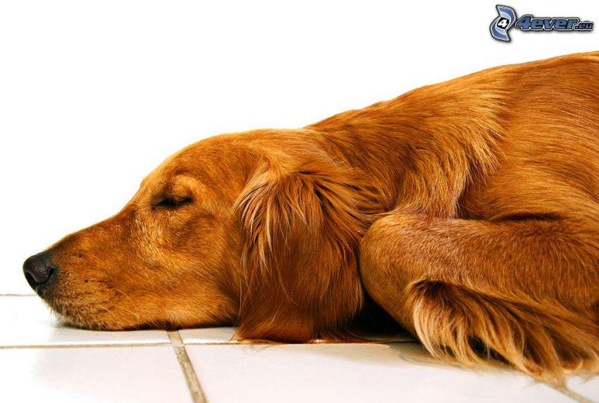 perro durmiendo, perro en el suelo
