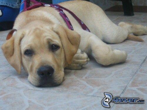 perro en el suelo, Labrador cachorro