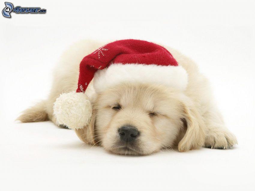 perro navideño, dormir, gorra de San Nikolás