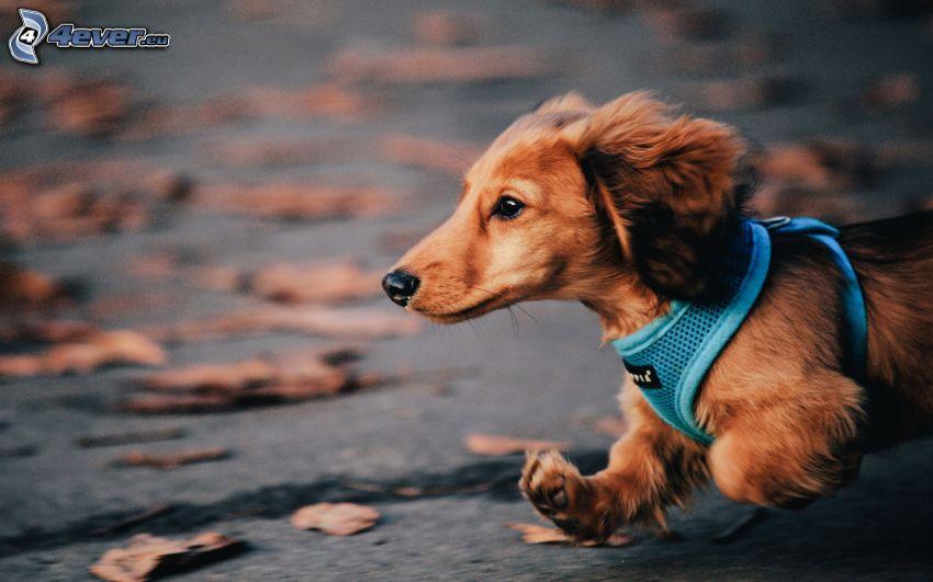 perro salchicha, carrera