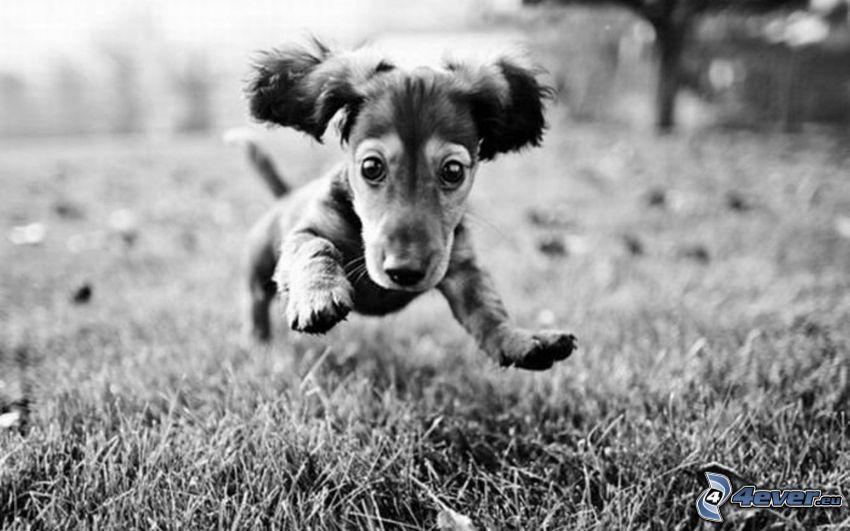 perro salchicha, Foto en blanco y negro
