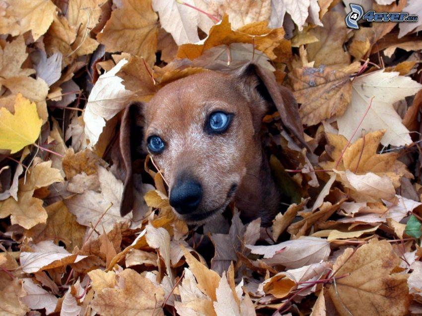 perro salchicha, ojos azules, hojas secas, otoño