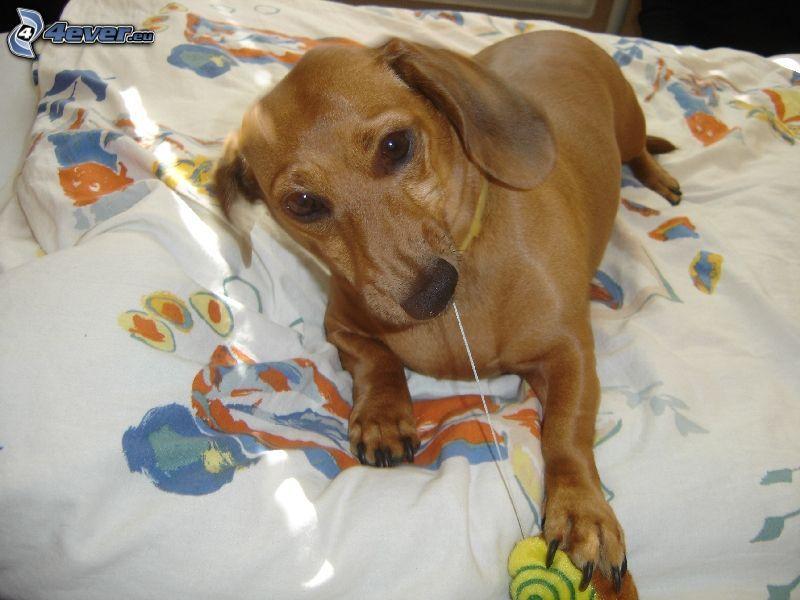 perro salchicha, perro en la cama, perrito juguetón